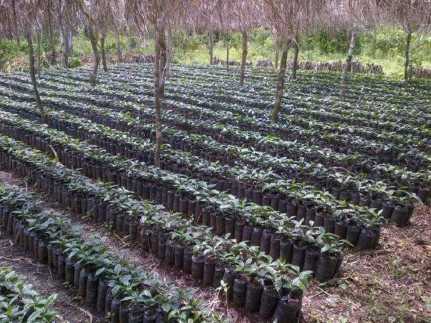 Coffee trees about to be planted