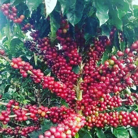 Coffee beans on vine