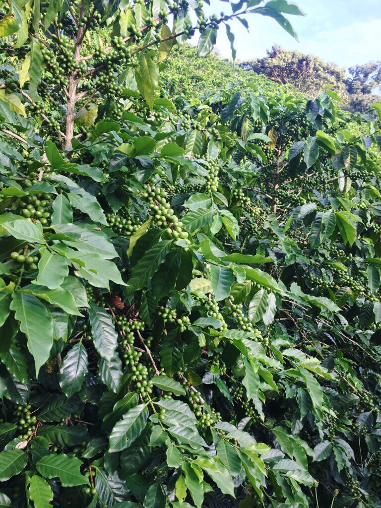 Coffee beans ripened