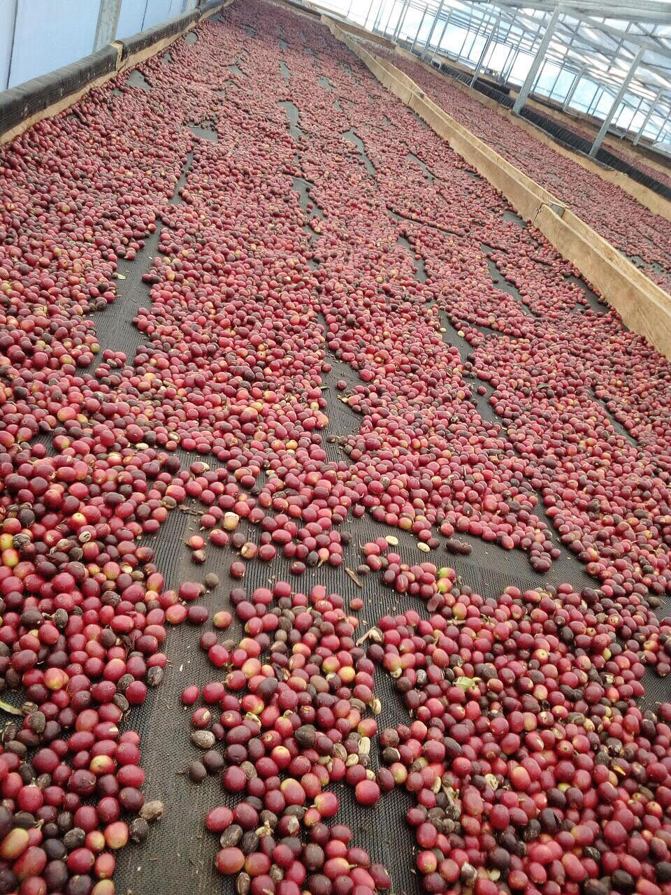 Coffee beans being processed